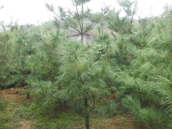 蓝田千木苗木分享华山松苗木的移植技术