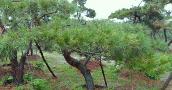 樹樁盆景常見樹種松樹盆景保護管理,千畝苗木:掌握這些要點