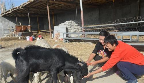 新疆玉米收获机