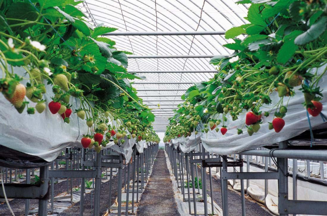 大棚草莓种植效果展示