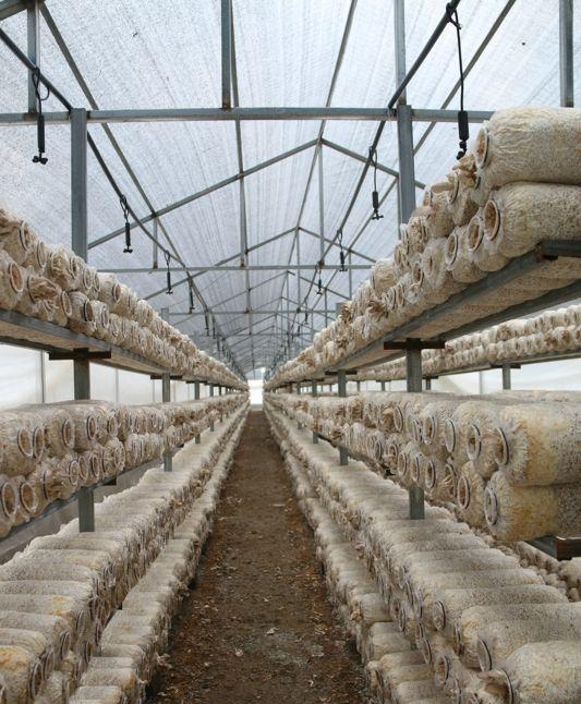 蘑菇种植使用大棚覆盖效果展示