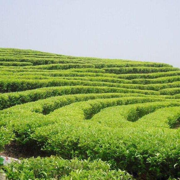 地膜覆盖茶叶
