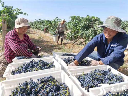 焉耆县十万亩酿酒葡萄全面采收压榨