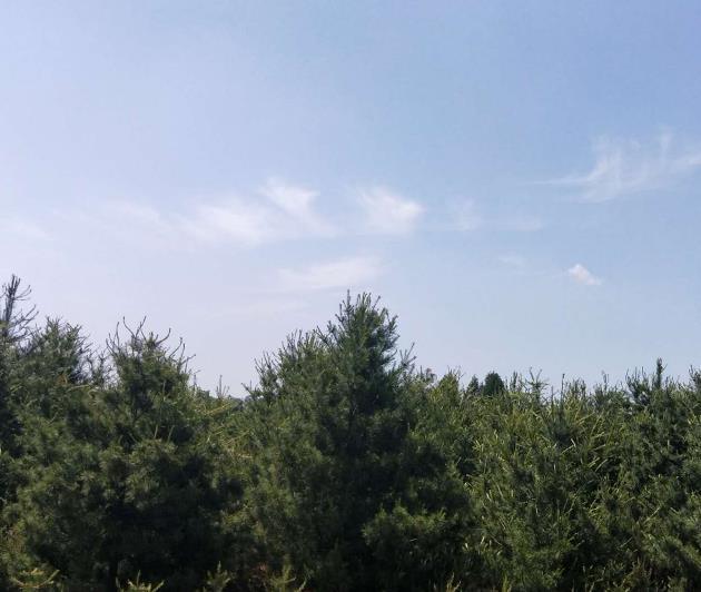 陕西华山松种植