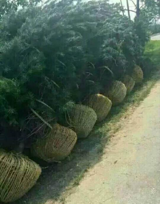 陕西白皮松种植