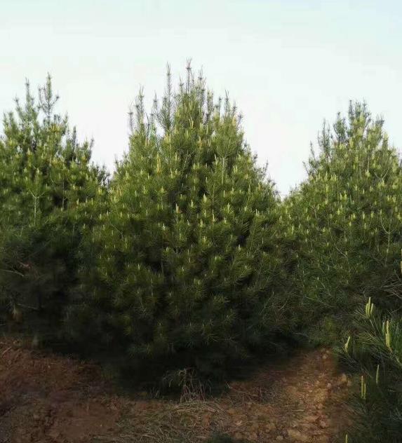 陕西白皮松种植厂家为西安某工程项目供应白皮松批发的业务