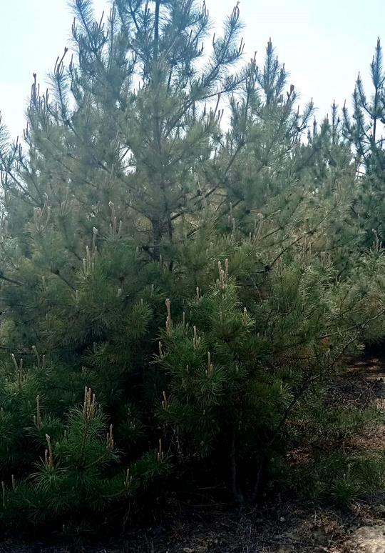 陕西油松供应商为咸阳某工程项目供应油松业务
