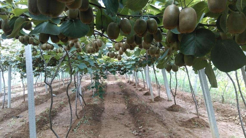 在種植四川東紅獼猴桃苗時應該注意這些問題