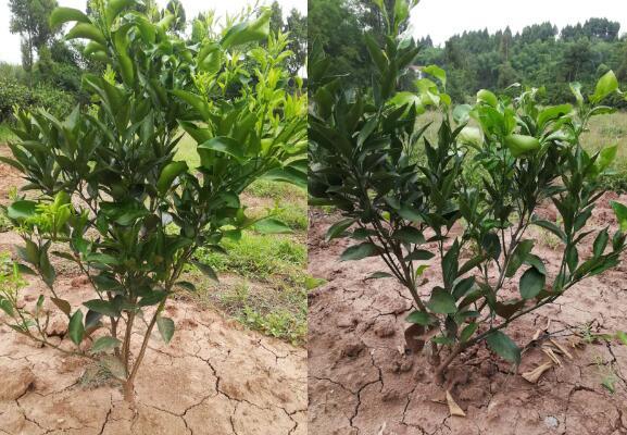 宜宾客户年初买的四川柑橘苗现在的长势实况