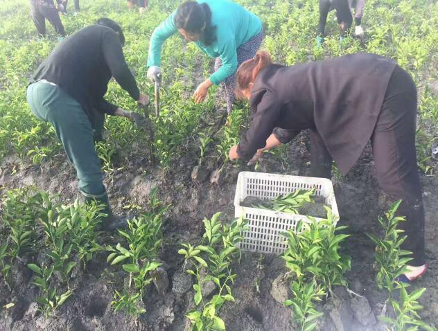 沃柑苗生产基地