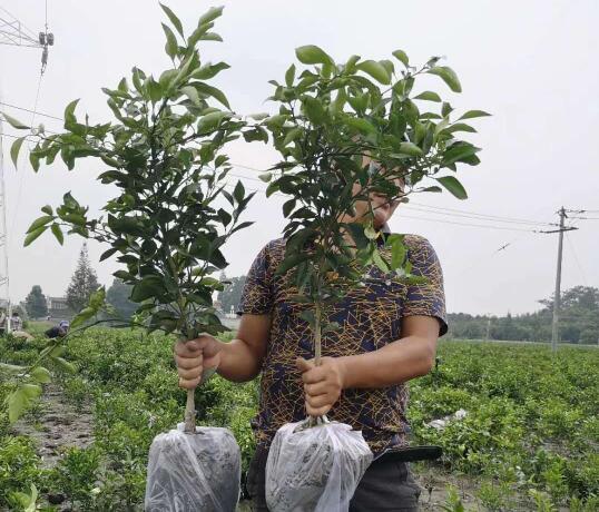 永利总站农业为大家介绍四川柑橘果树出现烂根的情况