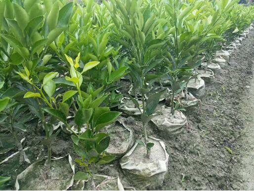 怎么培育四川不知火柑橘苗达到创收的目的