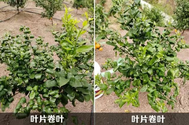 当永利总站注册沃柑苗的新叶出现卷叶怎么办?