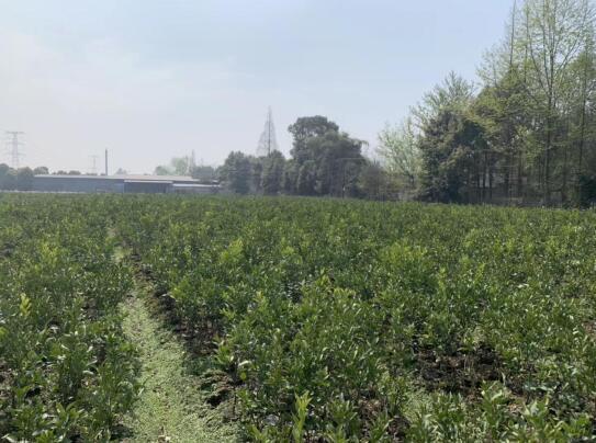 四川柑橘苗在这个季节开花是正常的吗?
