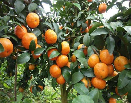 四川柑橘苗
