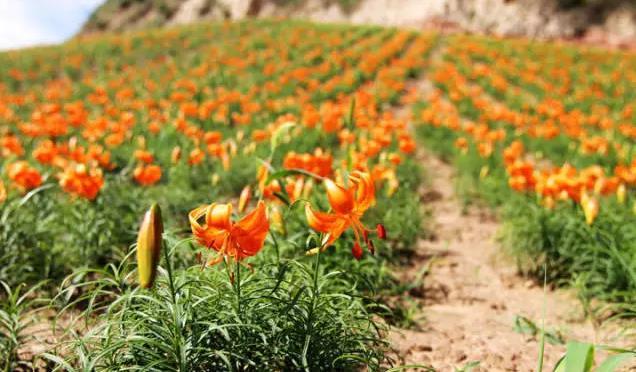 【兰州百合】一朵花的9世轮回,无与伦比的美丽,孕育着蔬菜人参