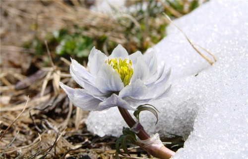 天山雪莲花