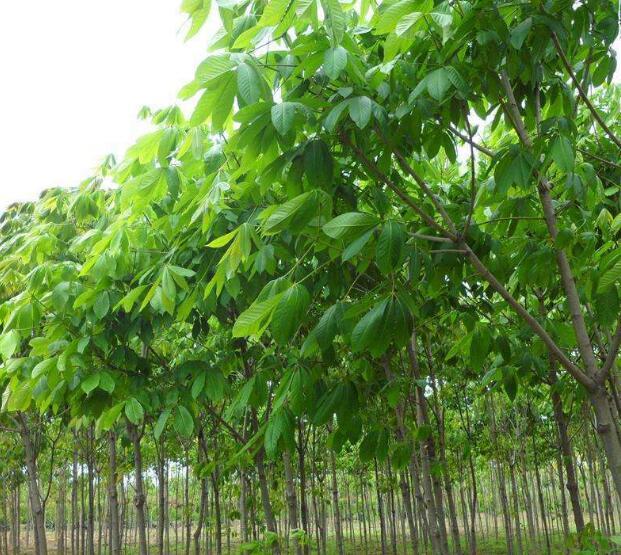 陕西七叶树