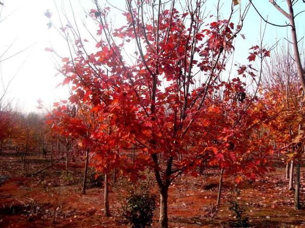 美国红枫案例展示