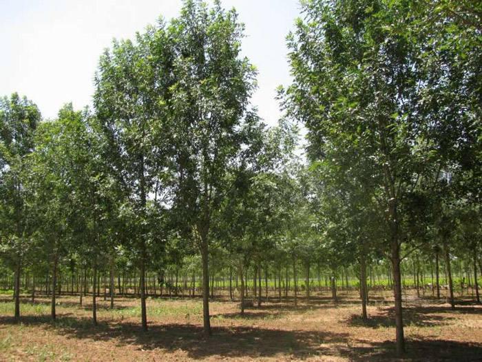 陕西白腊树