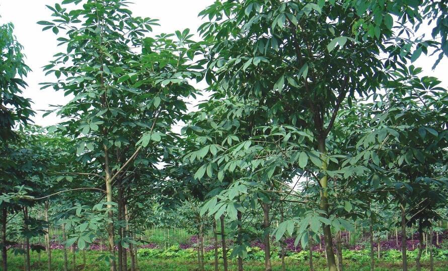 七叶树种植