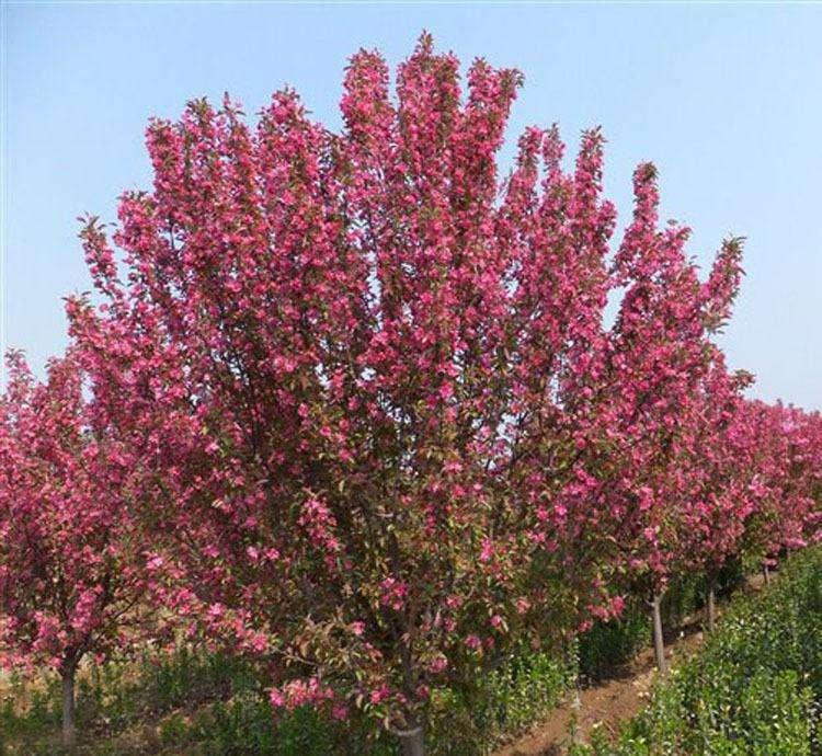 北美海棠种植基地