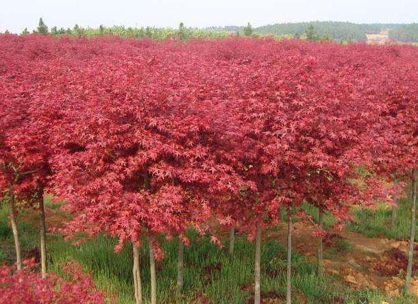 陕西美国红枫