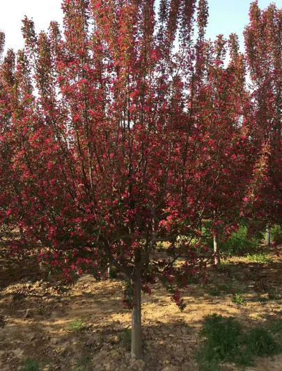 陕西北美海棠种植