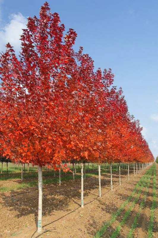 陕西美国红枫种植基地