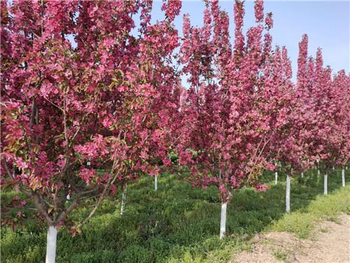 北美海棠种植