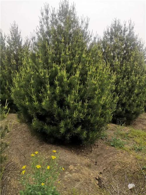 陕西白皮松种植3~5米