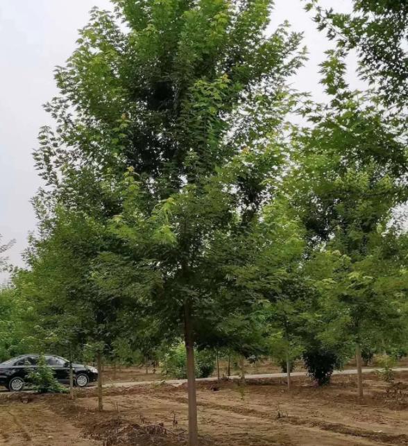 陕西美国红枫种植