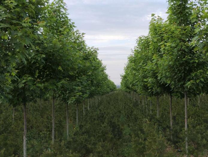 陕西美国红枫施肥时候需要考虑哪些方面的因素?
