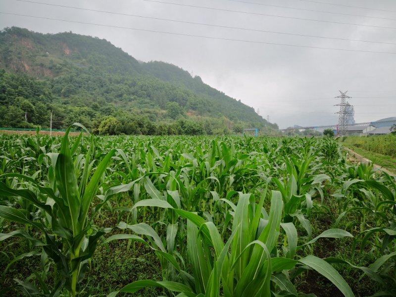 四川麦冬种植地
