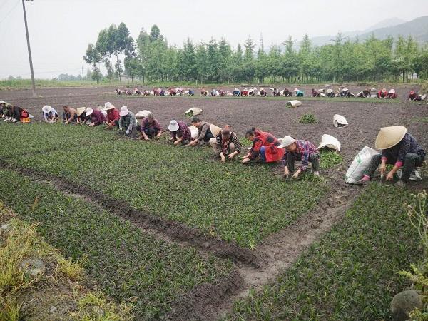 四川麥冬種植基地