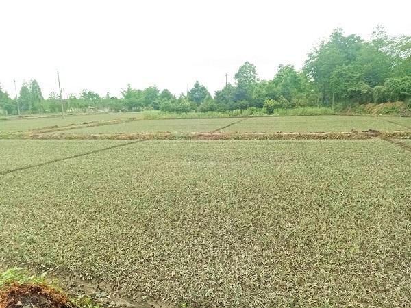 四川麦冬种植