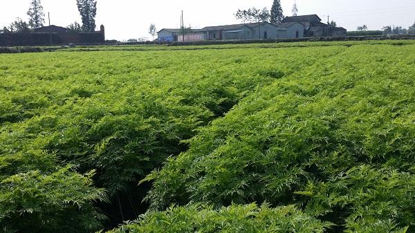 四川源地中药材川芎种植基地