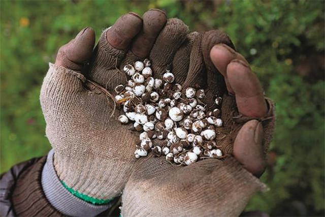 四川貝母種植