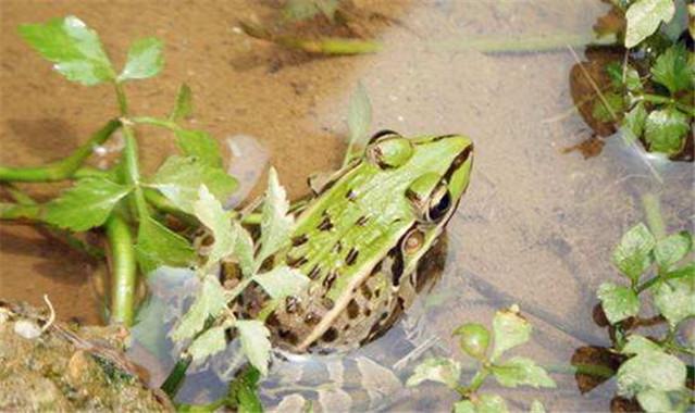 四川青蛙种苗