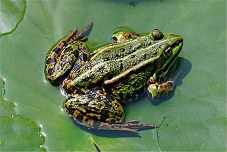 四川黑斑蛙腐皮病如何防治