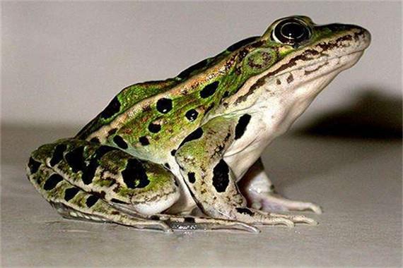 四川商品蛙之黑斑蛙