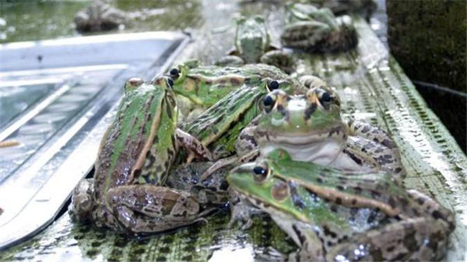怎样养殖四川青蛙和黑斑蛙赚钱