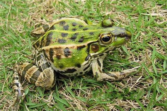 四川黑斑蛙养殖基地