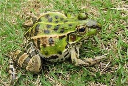 四川青蛙-青白江商品蛙