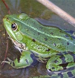 四川商品蛙养殖之四川青蛙