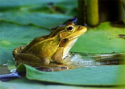 如何提升四川青蛙的品质