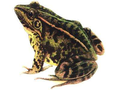 四川黑斑蛙