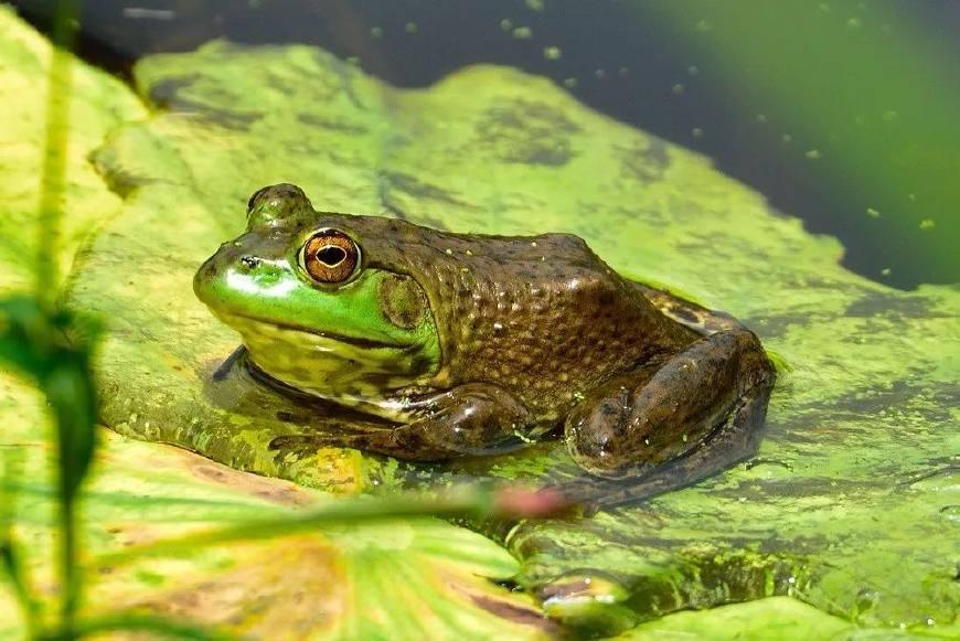 怎么样才能改良四川优化黑斑蛙的质量