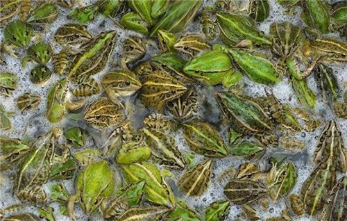 四川黑斑蛙养殖