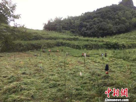 贵州毕节同威生物科技有限公司天麻种植基地。 周娴 摄